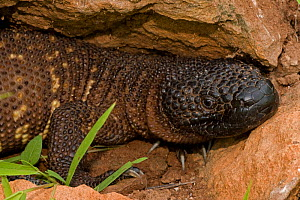 Rio Fuerte Beaded Lizard (Heloderma horridum exasperatum) Sonora, Mexico  Venomous species  -  John Cancalosi