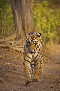 Bengal Tiger {Panthera tigris tigris} walking down track, hunting, Ranthambhore NP, Rajasthan, India - TJ Rich