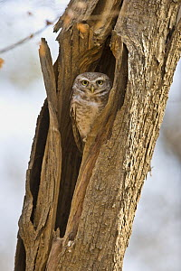 Spotted Owlet {Athene brama} in nest hole, Ranthmbhore NP, Rajasthan, India  -  TJ Rich