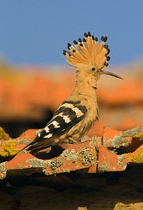 Hoopoe {Upupa epops} male displaying on roof, Castelo Branco, Portugal  -  Roger Powell