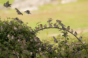 flock of Spanish Sparrows {Passer hispaniolensis}  gathering at evening roost in bramble bush, Evora, Portugal  -  Roger Powell