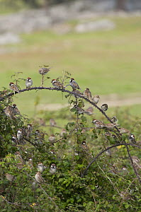 Flock of Spanish Sparrows {Passer hispaniolensis}  gathering at their evening roost in bramble bushes, Evora, Portugal  -  Roger Powell