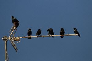 Social gathering of Spotless Starlings {Sturnus unicolor} on rooftop television aerial, Alcantara, Spain  -  Roger Powell