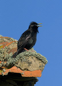 Spotless Starling {Sturnus unicolor} in territorial song from rooftop, Castelo Branco, Portugal  -  Roger Powell