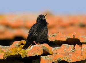 Spotless Starling {Sturnus unicolor} singing from roof over its territory, Castelo Branco, Portugal  -  Roger Powell