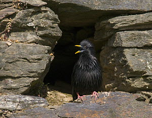 Spotless Starling {Sturnus unicolor} singing from its nest site in old stone wall, Castelo Branco, Portugal  -  Roger Powell