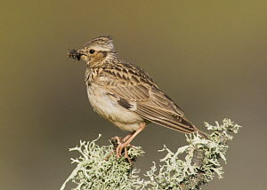 Woodlark {Lullula arborea} on lichen covered branch with food for chicks, Castelo Branco, Portugal  -  Roger Powell
