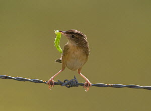 Fan-tailed warbler / Zitting Cisticola {Cisticola juncidis} with large green caterpillar in beak, Evora, Portugal  -  Roger Powell