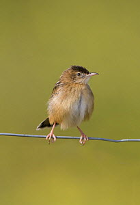Fan-tailed warbler / Zitting Cisticola {Cisticola juncidis} perched on wire, enjoying late afternoon sunshine, Evora, Portugal  -  Roger Powell