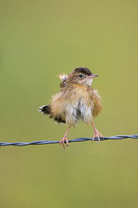 Fan-tailed warbler / Zitting Cisticola {Cisticola juncidis} perched on wire, fluffing feathers out after bathing, Evora, Portugal  -  Roger Powell