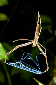 RF- Net casting spider (Deinopis sp) lying in ambush. Ranomafana National Park, SE Madagascar. (This image may be licensed either as rights managed or royalty free.) - Nick Garbutt