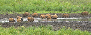 Red River Hogs (Potamochoerus porcus) wallowing at Langoue Bai, Ivindo National Park, Gabon, Central Africa.  -  Nick Garbutt