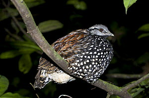 Latham's Forest Francolin (Peliperdix lathami) roosting at night at Langoue Bai, Ivindo National Park, Gabon, Central Africa. - Nick Garbutt