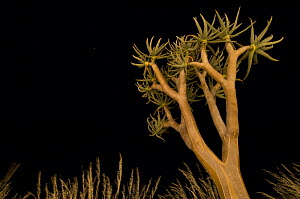 Quiver tree / Kokerboom (Aloe dichotoma) at night. Namibrand Nature Reserve, on the edge of the Sossusvlei dunes, Namib Desert, Namibia.  -  Nick Garbutt