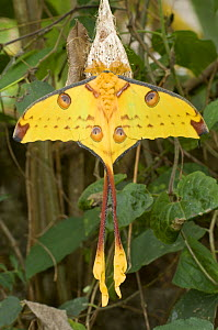 Adult male Comet Moth (Argema mittei) hanging from cocoon from where it recently emerged. Mantadia National Park, East Madagascar.  -  Nick Garbutt