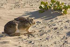 Cape Hare (Lepus capensis) crouched against strong wind. Skeleton Coast Park, Namibia. - Nick Garbutt