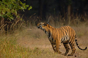 Bengal tiger (Panthera tigris tigris) an adult female sniffing for scent marks. Bandhavgarh National Park, Madhya Pradesh, India. - Andrew Parkinson