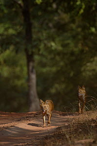 Indian wild dog / Dhole (Cuon alpinus) a pair of adults walking along a forest track. Bandhavgarh National Park, Madhya Pradesh, India.  -  Andrew Parkinson