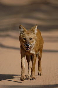 Indian wild dog / Dhole (Cuon alpinus) an adult walking quickly along a forest track. Bandhavgarh National Park, Madhya Pradesh, India.  -  Andrew Parkinson