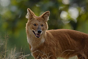 Indian wild dog / Dhole (Cuon alpinus) an adult standing on the top of a grassy bank. Bandhavgarh National Park, Madhya Pradesh, India.  -  Andrew Parkinson