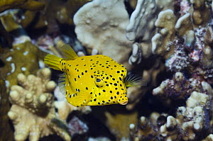 Cube trunkfish / yellow boxfish (Ostracion cubicus) with Blue coral. Andaman Sea, Thailand.  -  Georgette Douwma