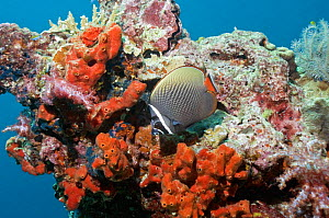 Collared / redtail butterflyfish (Chaetodon collare). Andaman Sea, Thailand.  -  Georgette Douwma