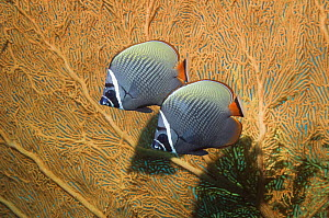 Pair of Collared / redtail butterflyfish (Chaetodon collare) against seafan coral. Andaman Sea, Thailand.  -  Georgette Douwma