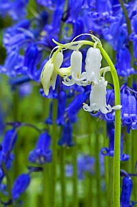 Bluebells (Hyacinthoides non-scripta) white morph amongst blue flowers, Belgium  -  Philippe Clement