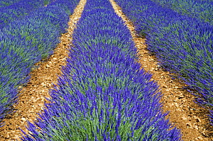 Row of cultivated Lavender (Lavendula sp) in flower, Provence, France. June 2008. - Philippe Clement