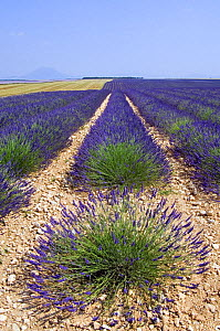 Row of cultivated Lavender in field (Lavendula sp) in Provence, France. June 2008. - Philippe Clement
