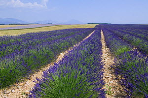Rows of cultivated Lavender in field (Lavendula sp) in Provence, France. June 2008. - Philippe Clement