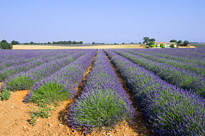 Rows of cultivated Lavender in field (Lavendula sp) and farm in Provence, France. June 2008. - Philippe Clement