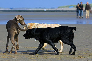 Golden and black labrador retrievers (Canis familiaris) meeting and sniffing strange, unfamiliar dog on beach, Belgium. 2008.  -  Philippe Clement