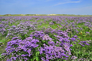 Sea lavender (Limonium vulgare) in flower at saltmarsh in the nature reserve The Zwin, Belgium - Philippe Clement