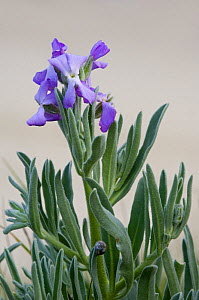Sea stock (Matthiola sinuata) in flower along the coast, Brittany, France  -  Philippe Clement