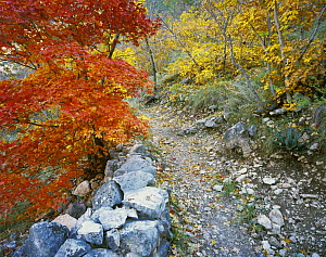 Trail with Bigtooth Maples (Acer grandidentatum) in autumn, McKittrick Canyon, Guadalupe Mountains National Park, Texas, USA, November 2005  -  Rolf Nussbaumer