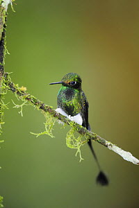 Booted Racket-tail hummingbird (Ocreatus underwoodii) male perched, Mindo, Ecuador, Andes, South America, January  -  Rolf Nussbaumer