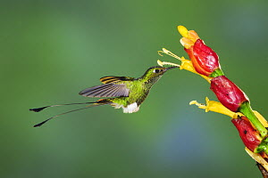 Booted Racket-tail hummingbird (Ocreatus underwoodii), male flying / feeding from Ginger flower, Mindo, Ecuador, Andes, South America, January  -  Rolf Nussbaumer