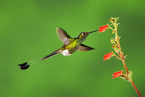Booted Racket-tail hummingbird (Ocreatus underwoodii) male flying, feeding from flower, Mindo, Ecuador, Andes, South America, January - Rolf Nussbaumer