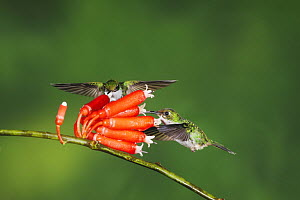 Booted Racket-tail hummingbird (Ocreatus underwoodii) two females feeding from flower, Mindo, Ecuador, Andes, South America, January  -  Rolf Nussbaumer