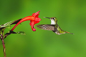 Booted Racket-tail hummingbird (Ocreatus underwoodii) female flying, feeding from flower, Mindo, Ecuador, Andes, South America, January  -  Rolf Nussbaumer
