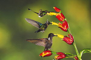 Booted Racket-tail (Ocreatus underwoodii), Green-Crowned Woodnymph (Thalurania fannyi) and Brown Inca (Coeligena wilsoni) adults feeding on Ginger flower, Mindo, Ecuador, Andes, South America, Februar... - Rolf Nussbaumer