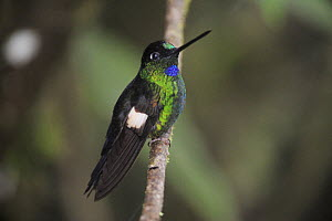 Buff-Winged Starfrontlet (Coeligena lutetiae) male perched, Quito, Ecuador, Andes, South America, January  -  Rolf Nussbaumer