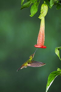Buff-Winged Starfrontlet hummingbird (Coeligena lutetiae) young female feeding from Datura flower, Papallacta, Ecuador, Andes, South America, January  -  Rolf Nussbaumer
