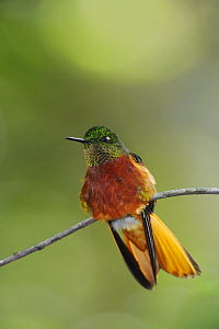 Chestnut-Breasted Coronet hummingbird (Boissonneaua matthewsii), adult perched, Papallacta, Ecuador, Andes, South America, January  -  Rolf Nussbaumer