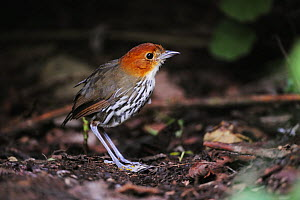Chestnut-crowned Antpitta (Grallaria ruficapilla) adult, Papallacta, Ecuador, Andes, South America, January  -  Rolf Nussbaumer