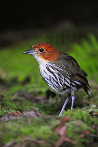 Chestnut-crowned Antpitta (Grallaria ruficapilla), adult, Papallacta, Ecuador, Andes, South America, January  -  Rolf Nussbaumer