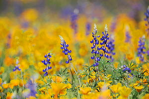 RF- Desert / Coulter's Lupine (Lupinus sparsiflorus) flowering among Mexican Gold Poppy (Eschscholzia californica mexicana). Organ Pipe Cactus National Monument, Arizona, USA. March. (This image may b... - Rolf Nussbaumer