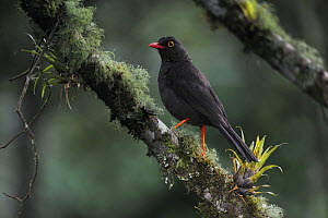 Glossy-black Thrush (Turdus serranus) adult perched, Papallacta, Ecuador, Andes, South America, January - Rolf Nussbaumer