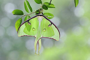 American moon / Luna Moth (Actias luna) resting on Cedar Elm (Ulmus crassifolia), New Braunfels, Texas, USA, March  -  Rolf Nussbaumer